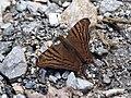 Hypanartia dione dione (Nymphalidae- Nymphalinae- Nymphalini) (29122804254).jpg