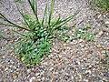 Hypericum humifusum sl23.jpg