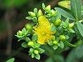 Hypericum kalmianum - Flickr - peganum.jpg