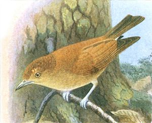Cinnamon ibon - Image: Hypocryptadius cinnamomeus Goodchild