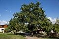 ID 686 Quercus Lafnitz 0003.jpg