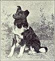 Iceland Dog from 1915.JPG