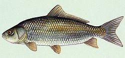 Bigmouth buffalo wikipedia for What is a buffalo fish