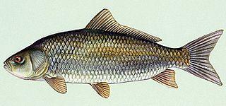 <i>Ictiobus</i> genus of fishes