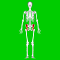 Iliacus muscle01.png
