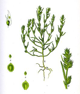 Illustration Corispermum intermedium0 clean.JPG