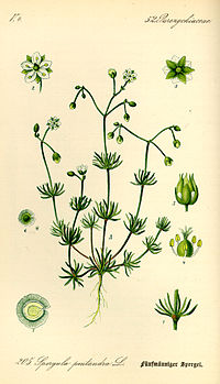 Illustration Spergula pentandra0