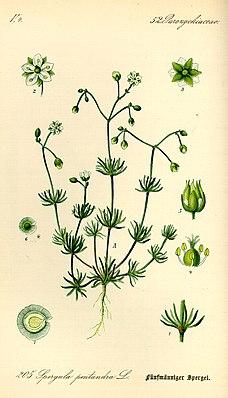 Fünfmänniger Spark (Spergula pentandra) (Illustration)