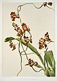 Illustration from Reichenbachia Orchids by Frederick Sander, digitally enhanced by rawpixel-com 155.jpg