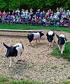 Im Wildpark Bad Mergentheim genießen auch die Nutztiere großes Interesse beim begeisterten Publikum. 09.jpg