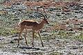 Impala (Aepyceros melampus), parque nacional de Chobe, Botsuana, 2018-07-28, DD 07.jpg