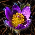 In Whitehorse, Y.T - a walk along the Yukon River - the newly emerging Prairie Crocuses (Anemone patens) seem to join in the celebration of Life - (14468756642).jpg