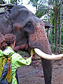 India - Kerala - 060 - feeding the elephant (2077690079).jpg