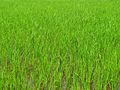 India - Velagiri Hills - paddy fields bordering the camp (4036486543).jpg