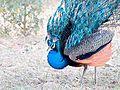 Indian-Peafowl.jpg