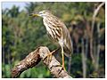 Indian pond heron (Ardeola grayii).jpg