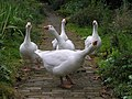 Inquisitive geese, Knockmoyle - geograph.org.uk - 1507582.jpg