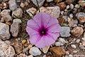 Ipomoea bolusiana -2394 - Flickr - Ragnhild & Neil Crawford.jpg