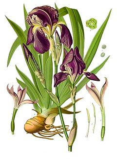 Iris germanica (perunika)