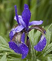 Iris and bee in the rain (3600604671).jpg