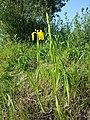 Iris pseudacorus sl13.jpg