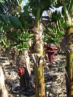 <i>Musa</i> × <i>paradisiaca</i> Species of flowering plant