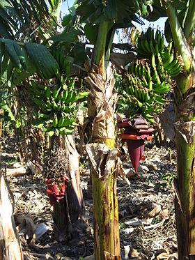 280px-Israel_banana_trees_3.JPG