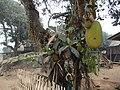 Jack Fruit - panoramio (1).jpg