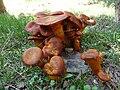 Jack O'Lantern Mushroom (Omphalotus olearius), 2009-104.jpg