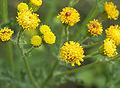 Jacobaea vulgaris subsp. vulgaris flowers, Jakobskruiskruid bloemen.jpg