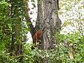 Jagende Eichhörnchen.JPG