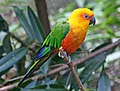 Jandaya Parakeet (Aratinga janday) RWD2.jpg