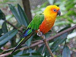 Jenday conures are amonst the top 10 popular types of conures