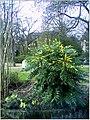 January Frost Botanic Garden Freiburg blühende China Zaubernuß Huapeh - Master Botany Photography 2014 Gen Laboratories, Peng said, shot the cat - panoramio.jpg