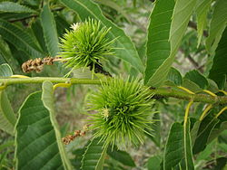 Japanese Chestnut04.jpg