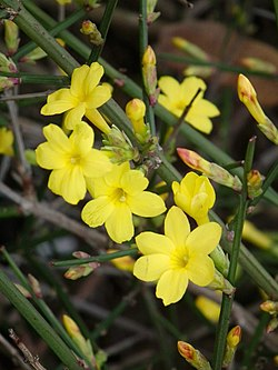 Jasminum nudiflorum HD.JPG