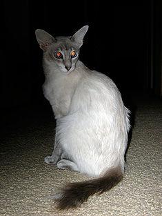 Kucing Jawa dan Kucing Bali