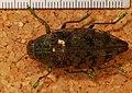 Jewel Beetle (Apateum semipolitum) (8227908006).jpg