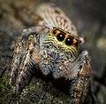 Jumping Spider - Flickr - James Niland.jpg