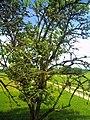 June Fruits Farming Bee Holunder Chinaberry elder - Master Seasons Rhine Valley 2013 Genus Sambucus - panoramio.jpg