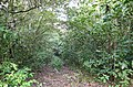 Jungle trail in secondary forest ... (27757776259).jpg