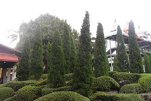 Juniperus chinensis - Image: Juniperus chinensis 01