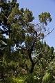 Juniperus lucayana CF9A3402.jpg