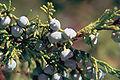 Juniperus scopulorum berries.jpg
