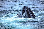 Just as dinner was about to be served we were blessed with a feeding orgy of Humpback whales right in front of the ship, forcing the captain to stop in the middle of the Gerlache strait.spectacular (25881462892).jpg