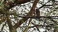 Juvenile Male Tawny (26931037273).jpg