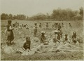 KITLV - 19010 - Kurkdjian, N.V. Photografisch Atelier - Soerabaja - Rice harvest at Mojokerto - circa 1920.tif