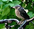 Kaja - Corvus monedula 2011..jpg