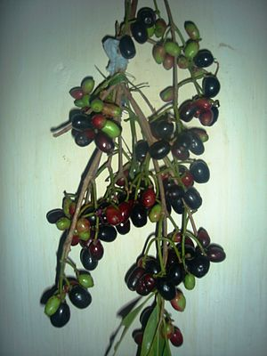 Syzygium cumini - Image: Kalo jaam