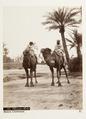 Kameler i Biskra, Algeriet - Hallwylska museet - 107944.tif